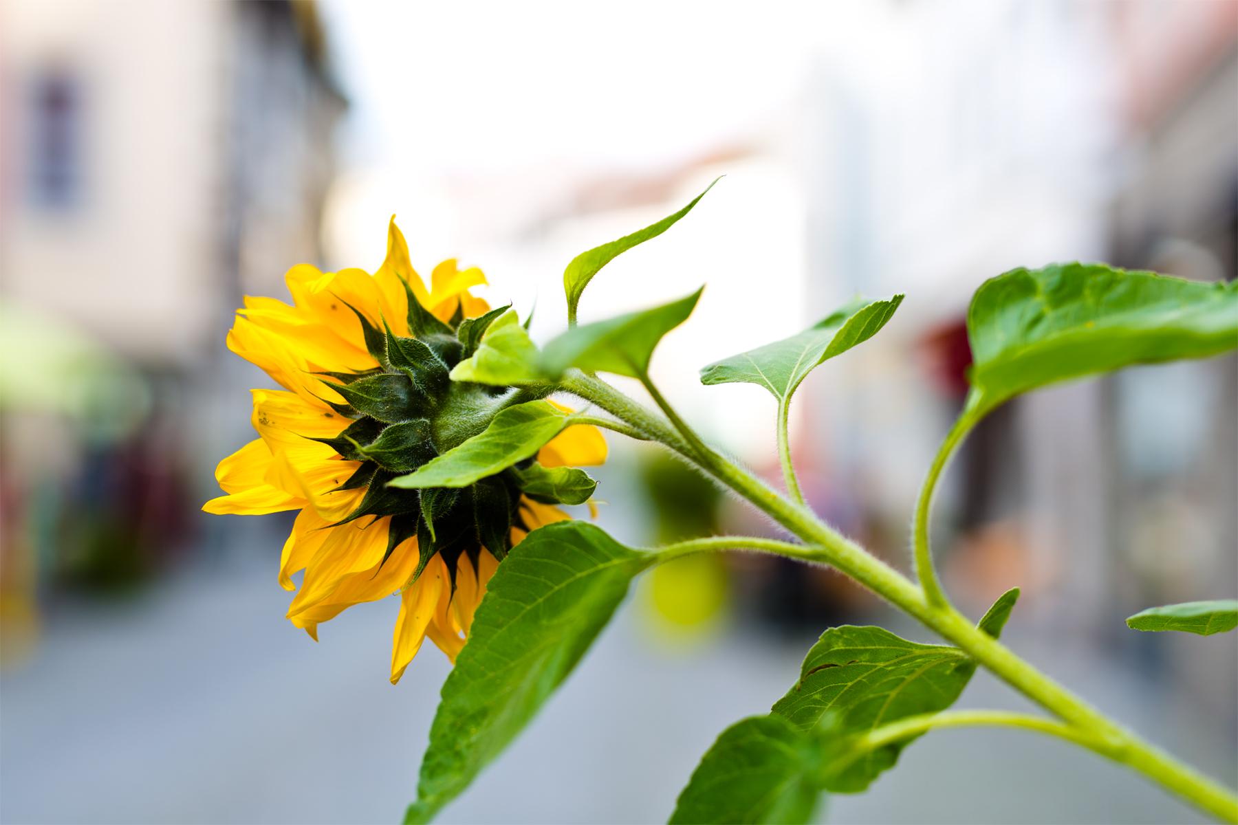 Sonnenblume Feldkirch