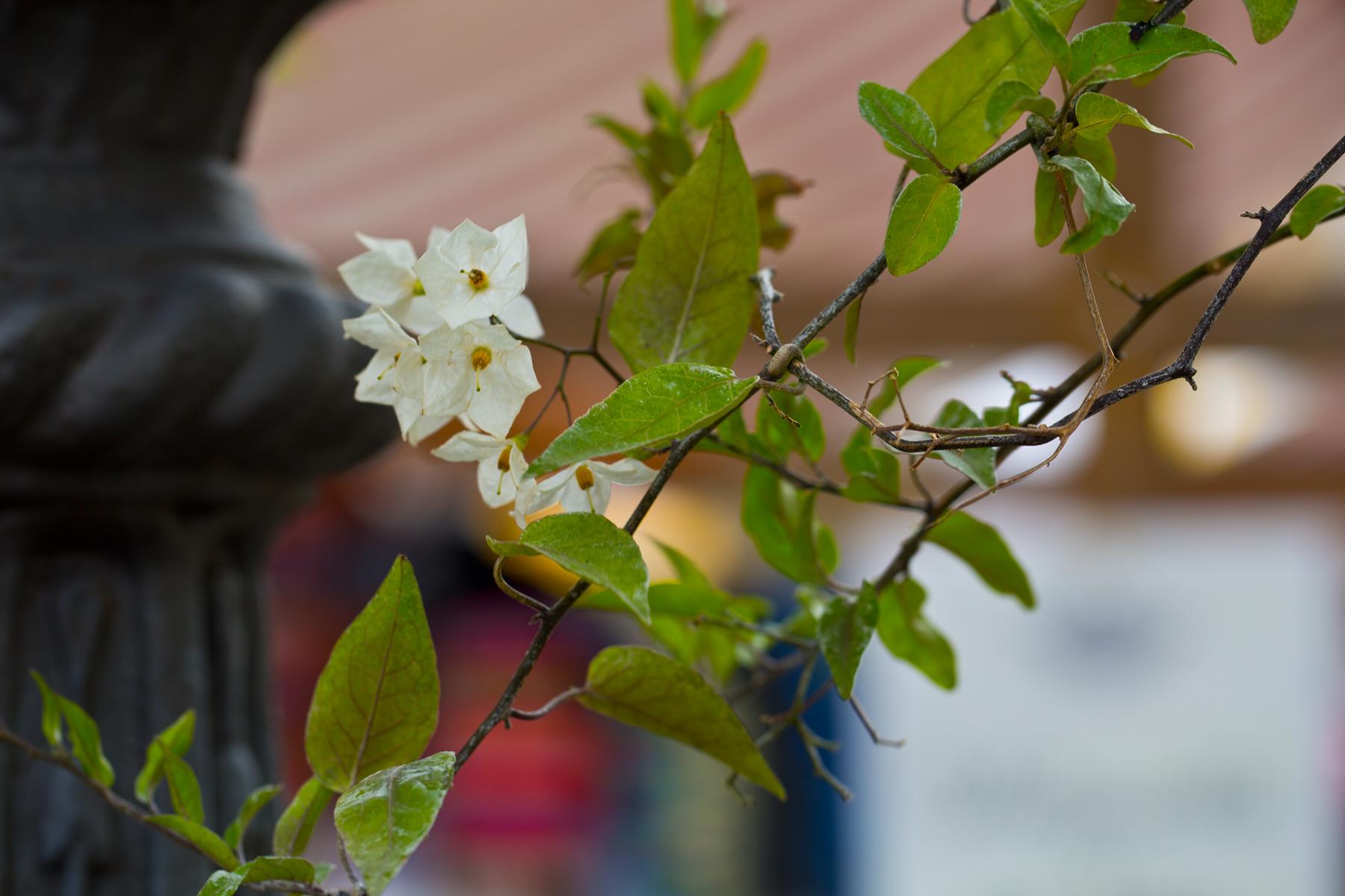 Brunnenblumen