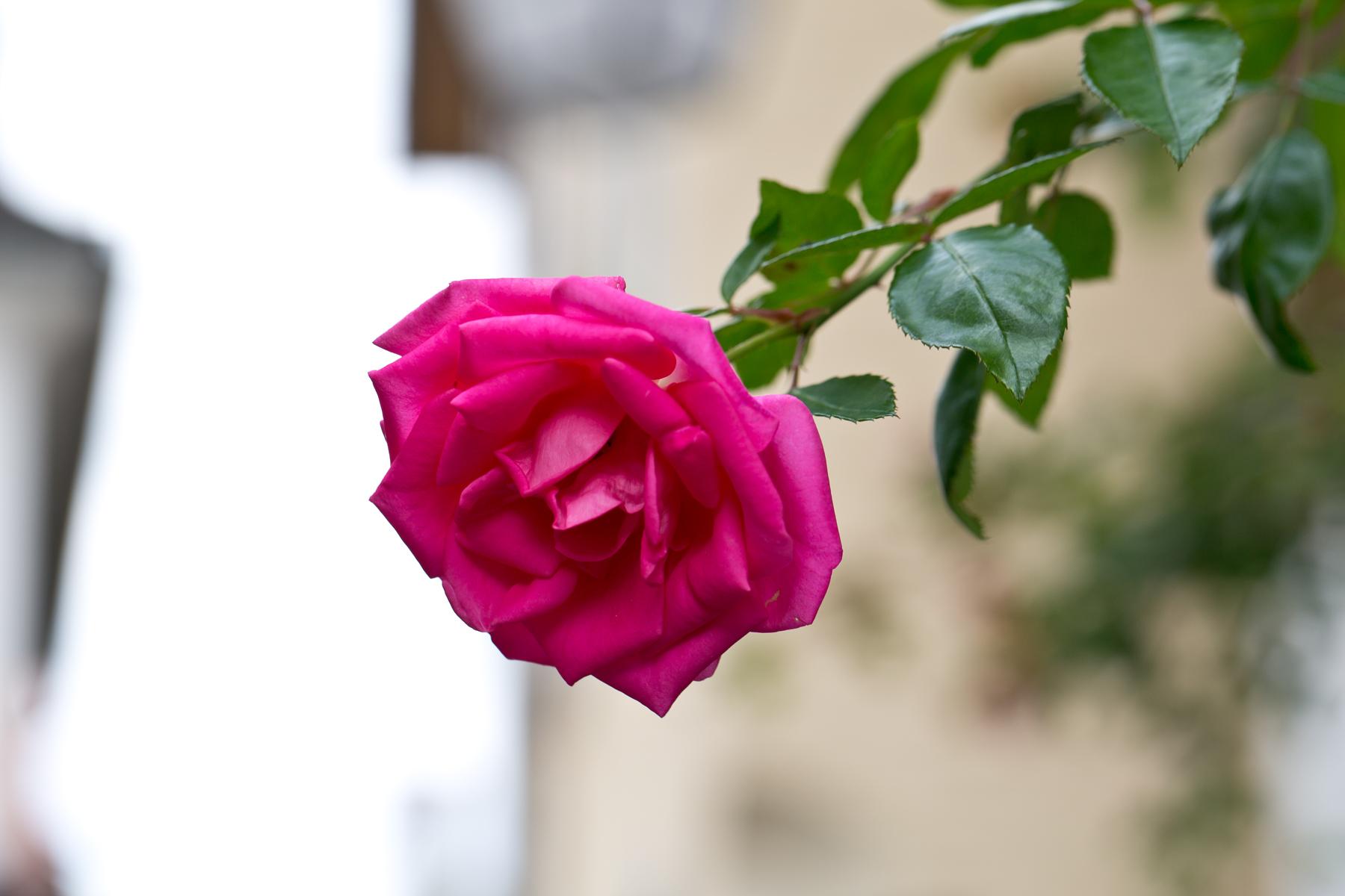 Rosenrot (schneeweischen fehlt)