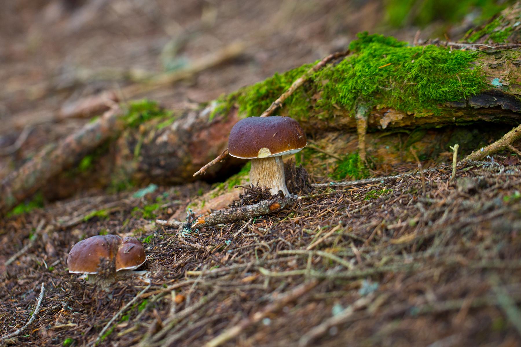 Steinpilze im Fichtenwald