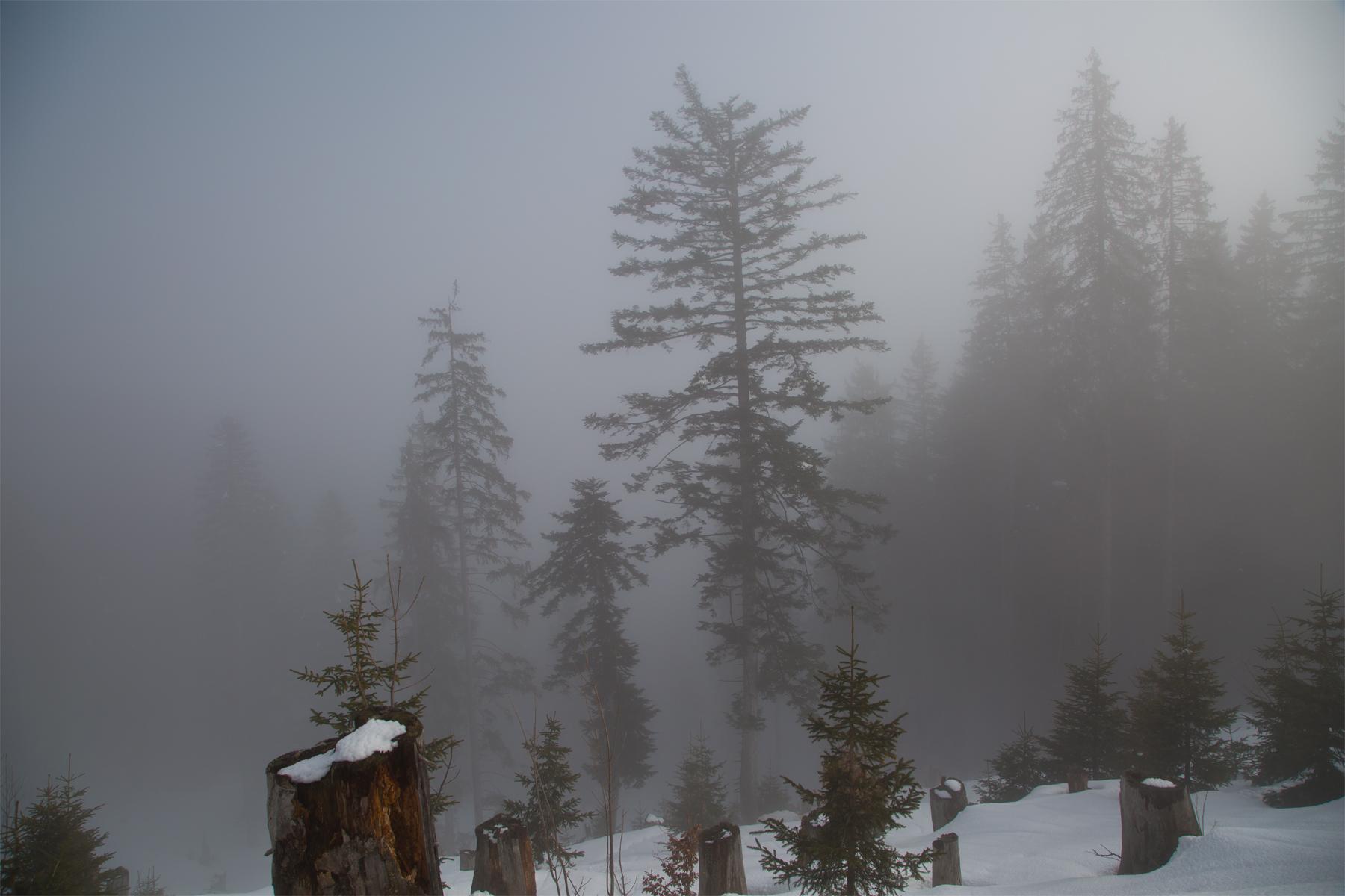 Fichten im Nebel