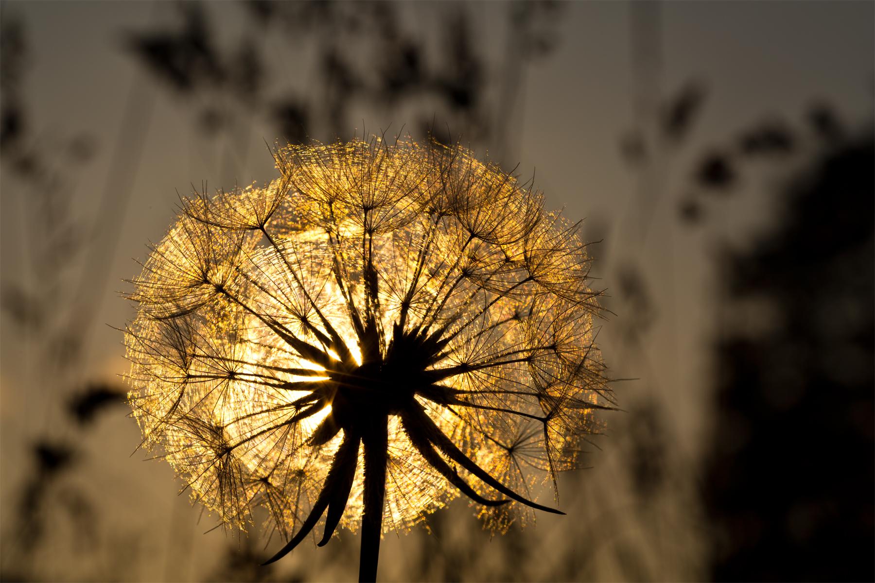 Golden leuchtender Samenstand Wiesenbocksbart