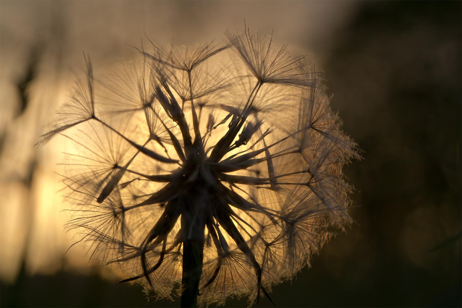 Fruchtstand des Wiesenbocksbart gegen die Sonne