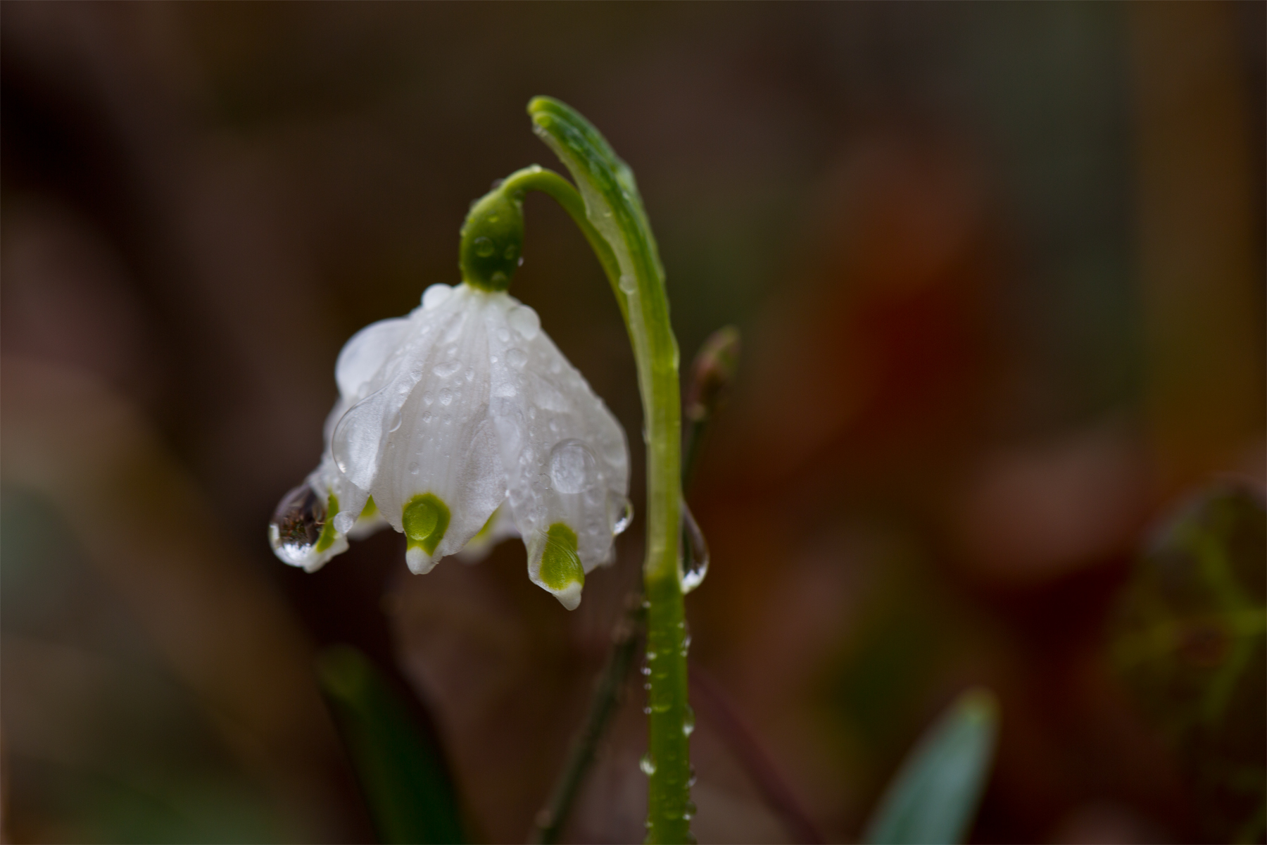Verregnete Frühlingsknotenblume