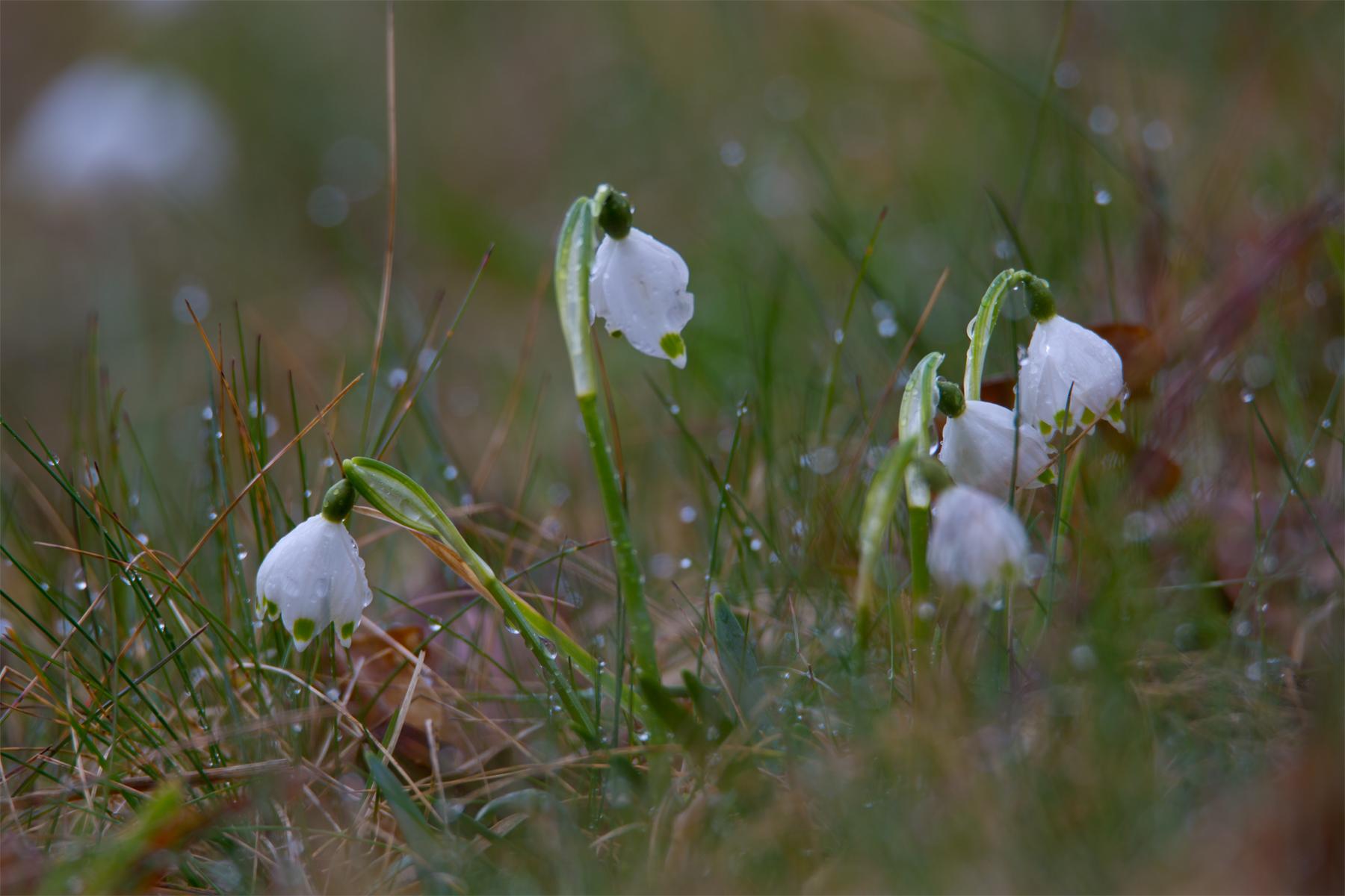 Frühlingsknotenblumen in der Wiese