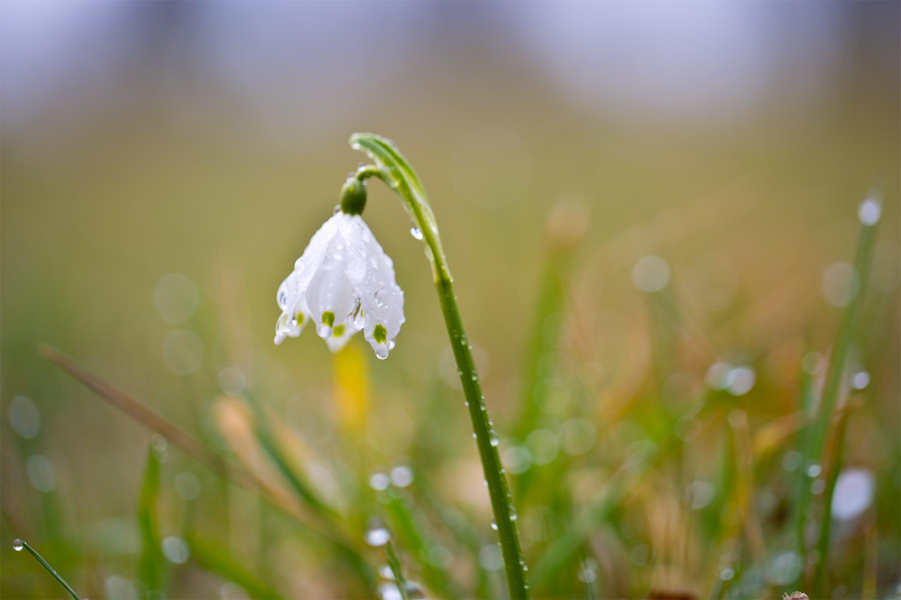 Einzelne Frühlingsknotenblume