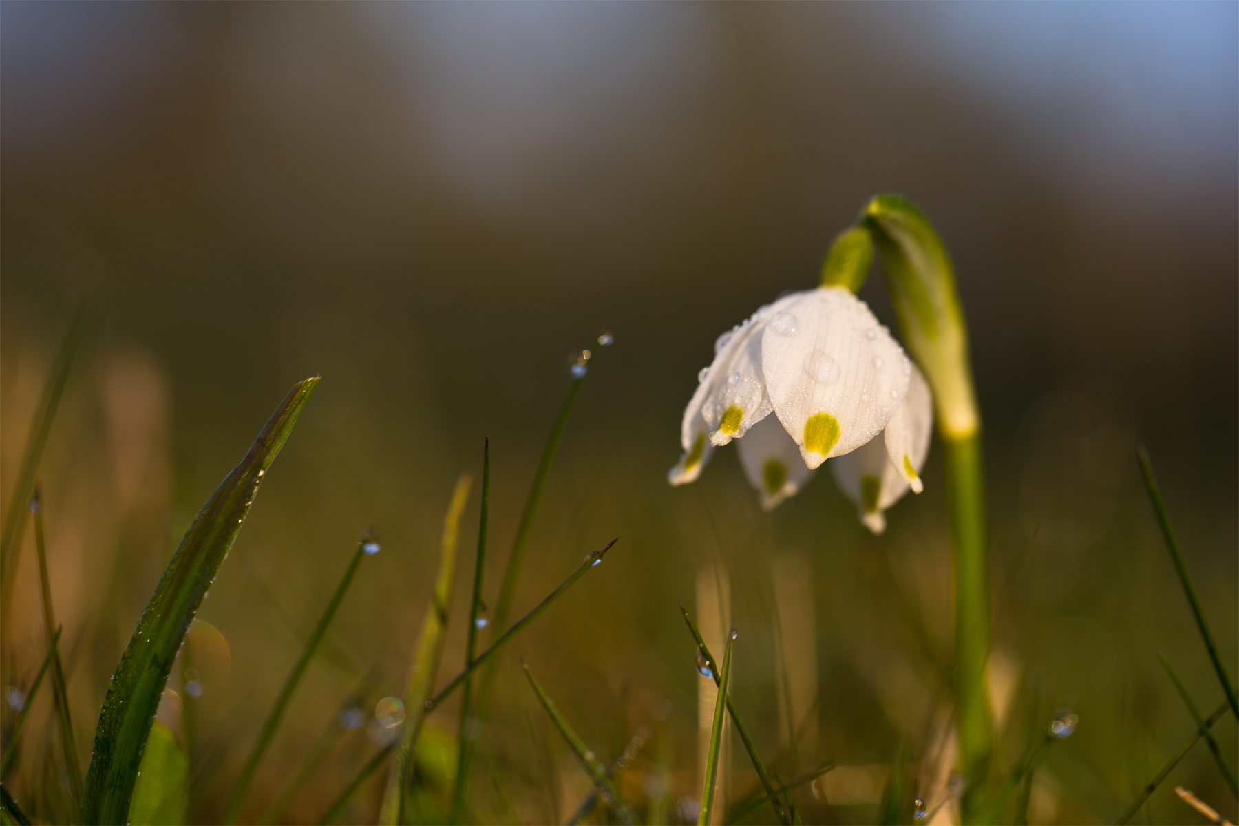 Frühlingknotenblume