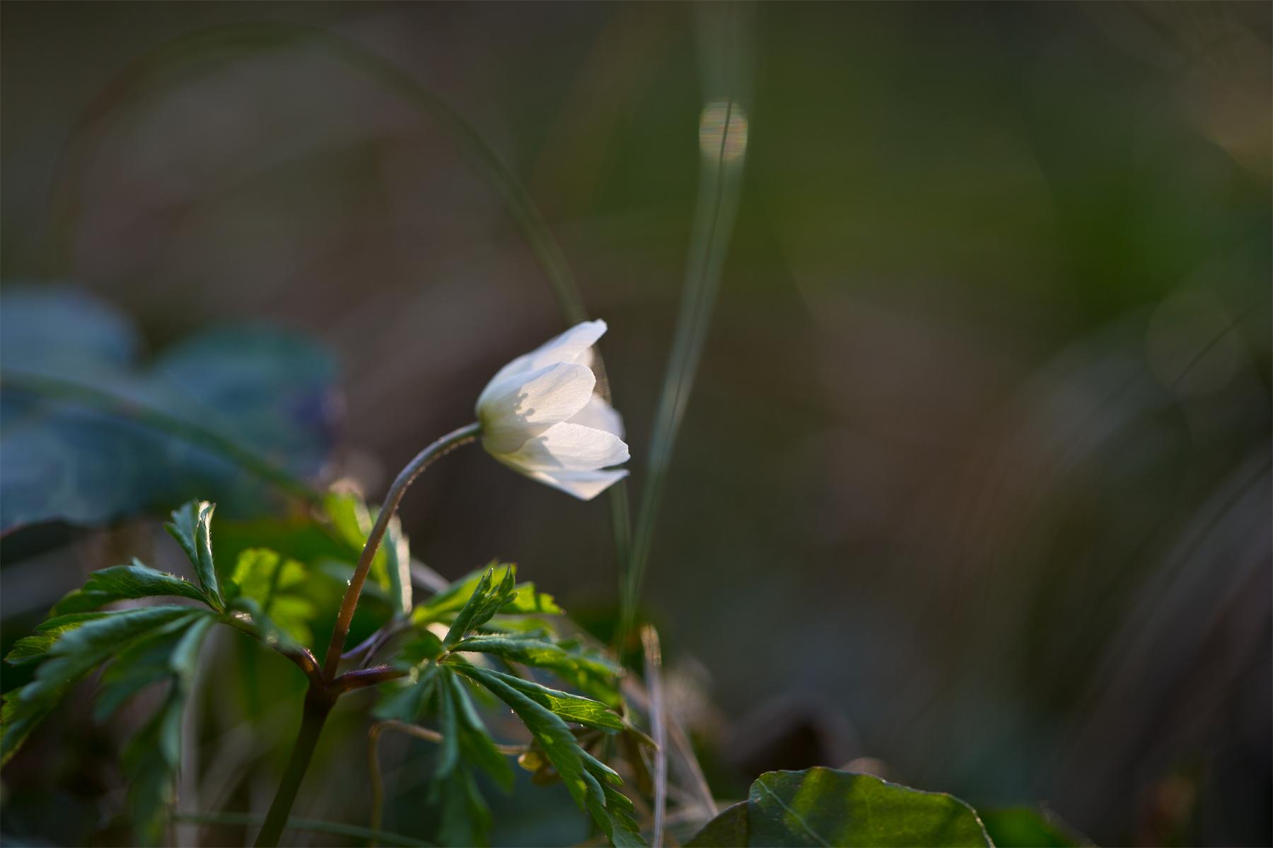 Buschwindröschen im Sonnenlicht