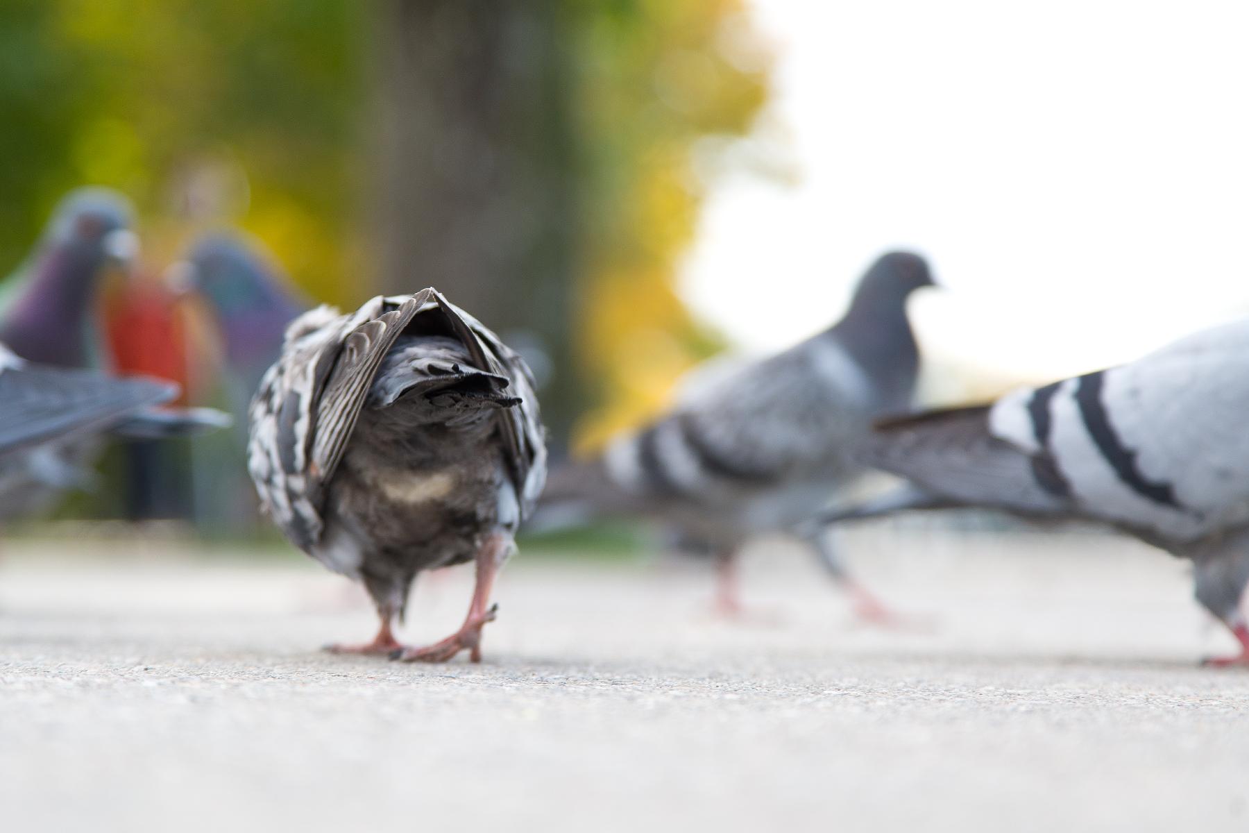 Taube von hinten