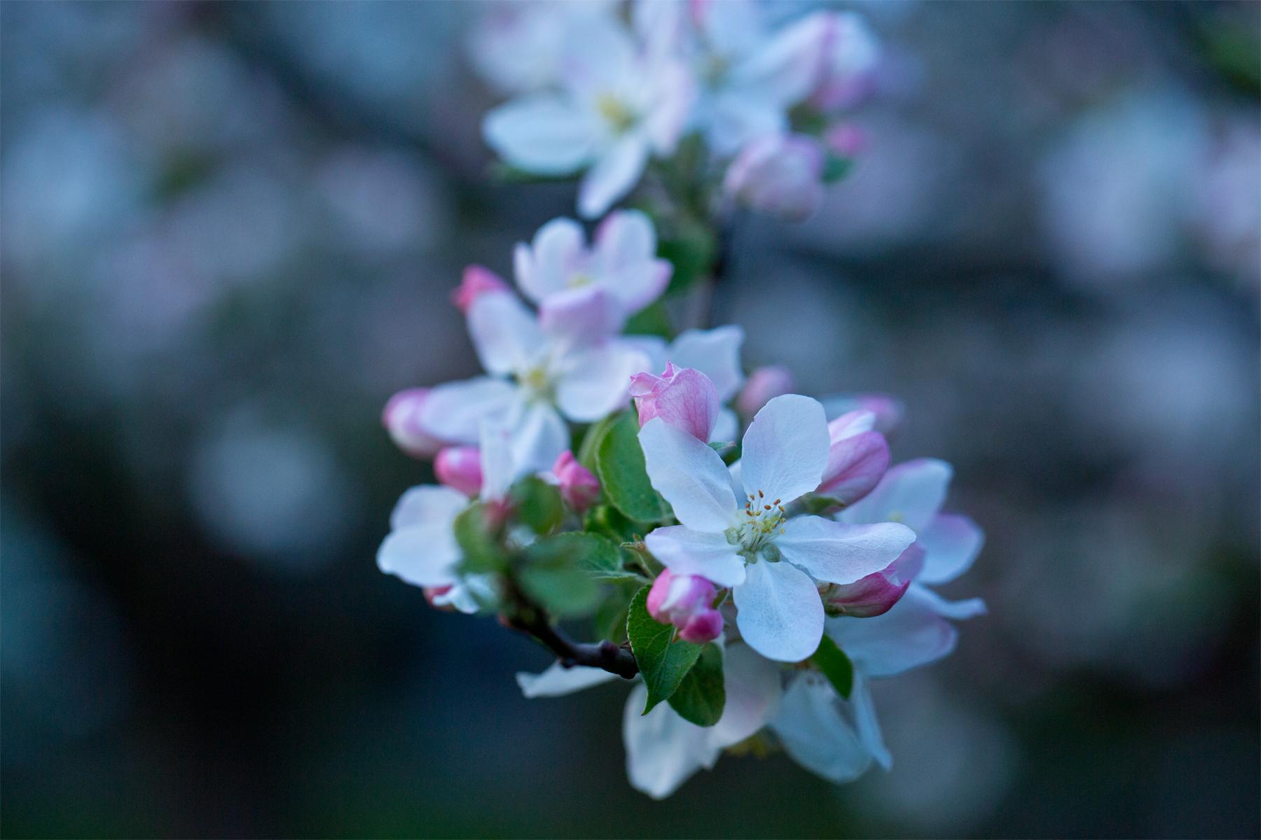 Startbild Apfelblüten blaue Stunde