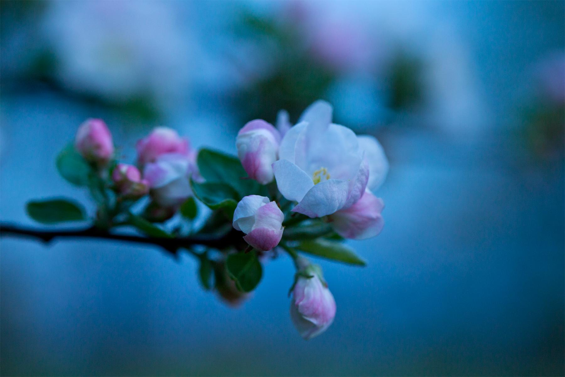 Halbgeöffnete Apfelblüte