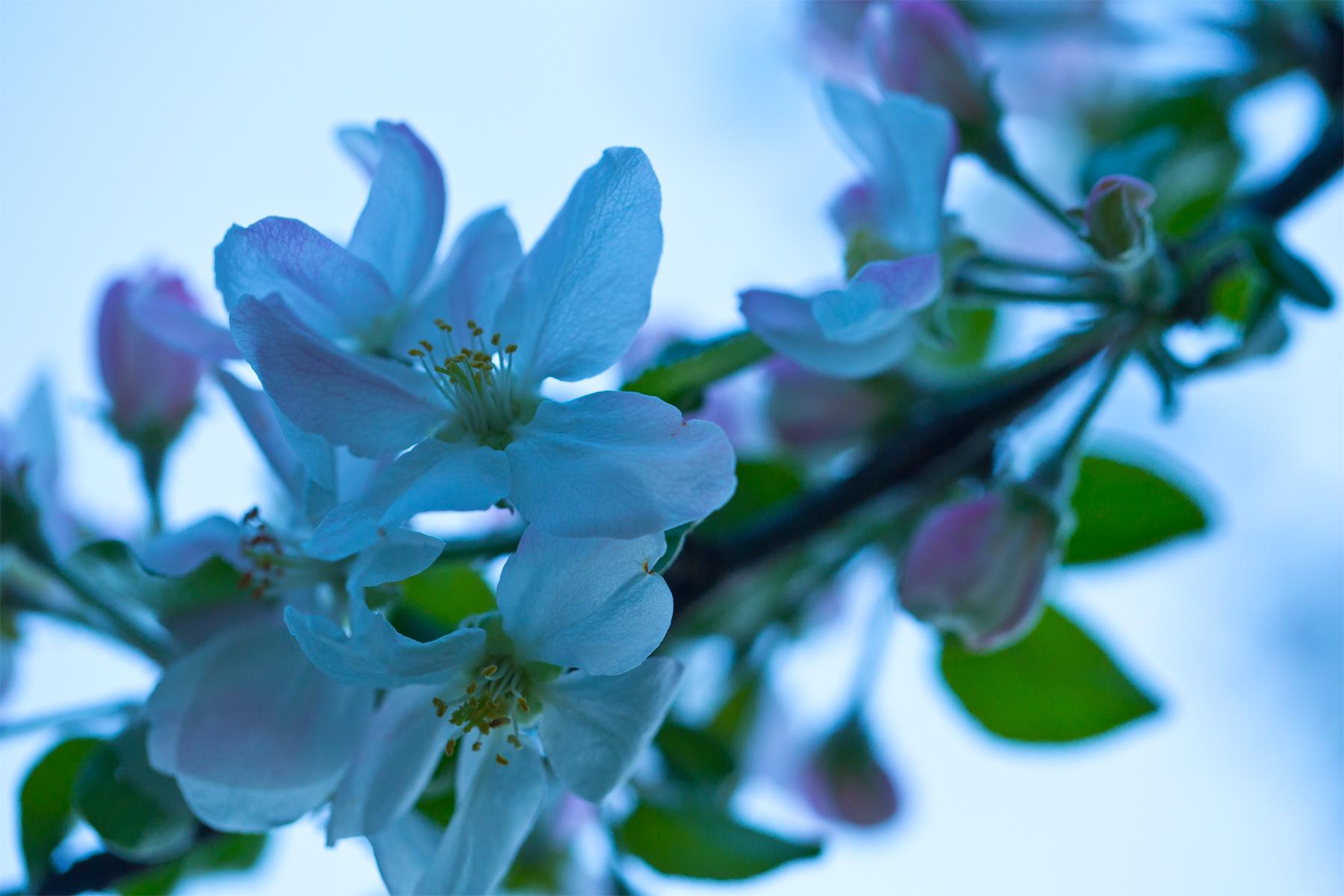geöffnete Apfelblüte