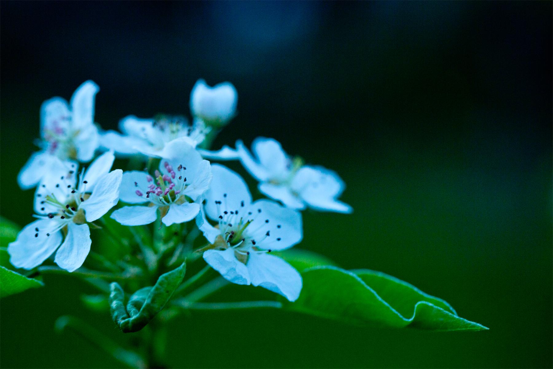 Apfelblüten mit Blatt