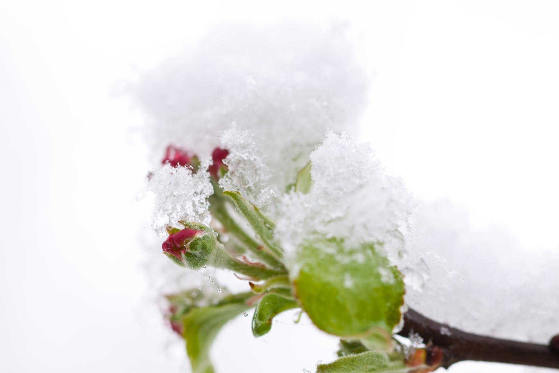 Apfelblütenknospen mit Schneehaube