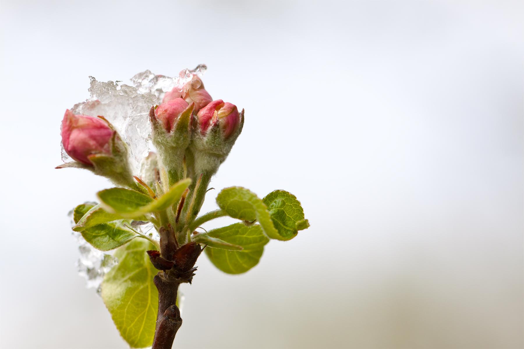 Haarige Apfelblüte mit wässrigem Schnee