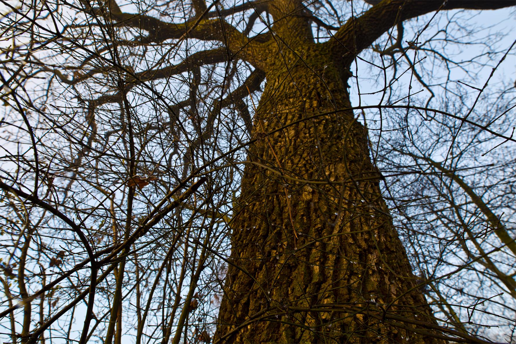 Der Stamm-Baum
