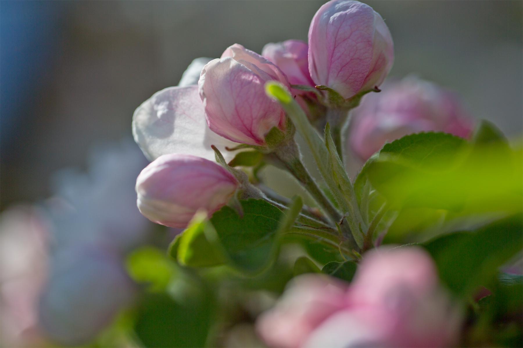Apfelblühten-Makro