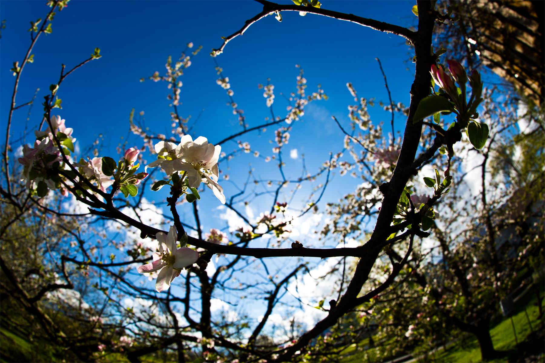 Apfelblühten-Fisheye