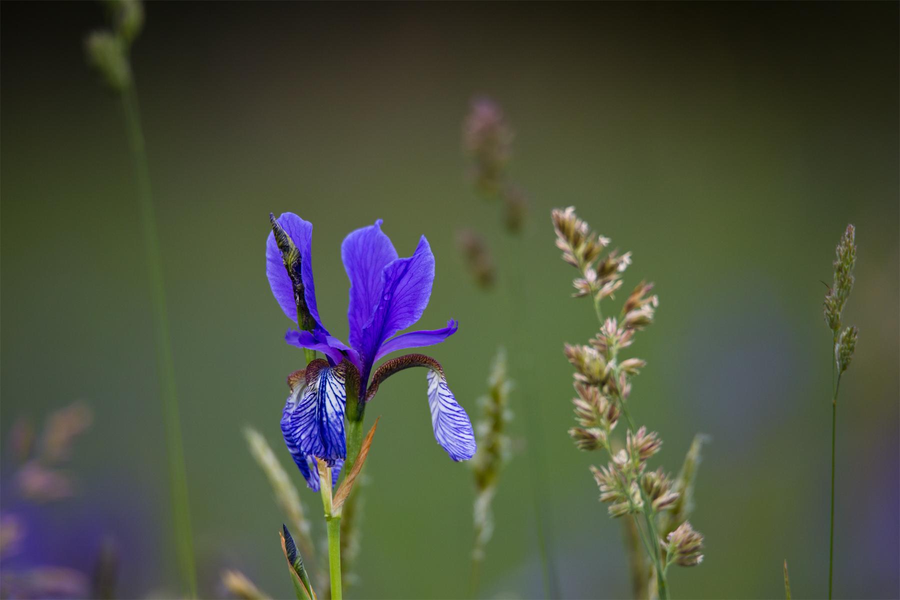 Blume mit Grashalm