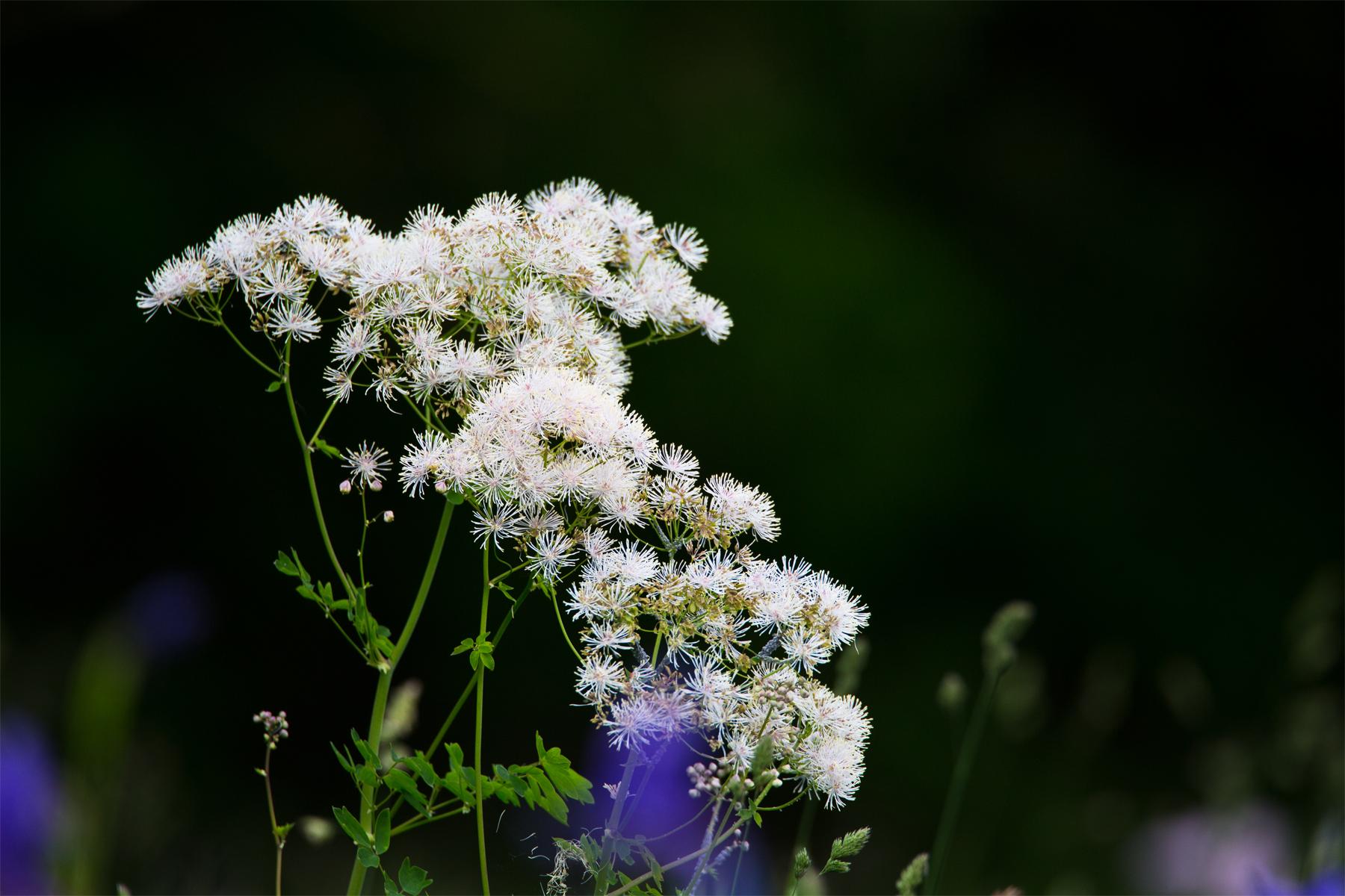 Akeleiblättrige Wiesenraute