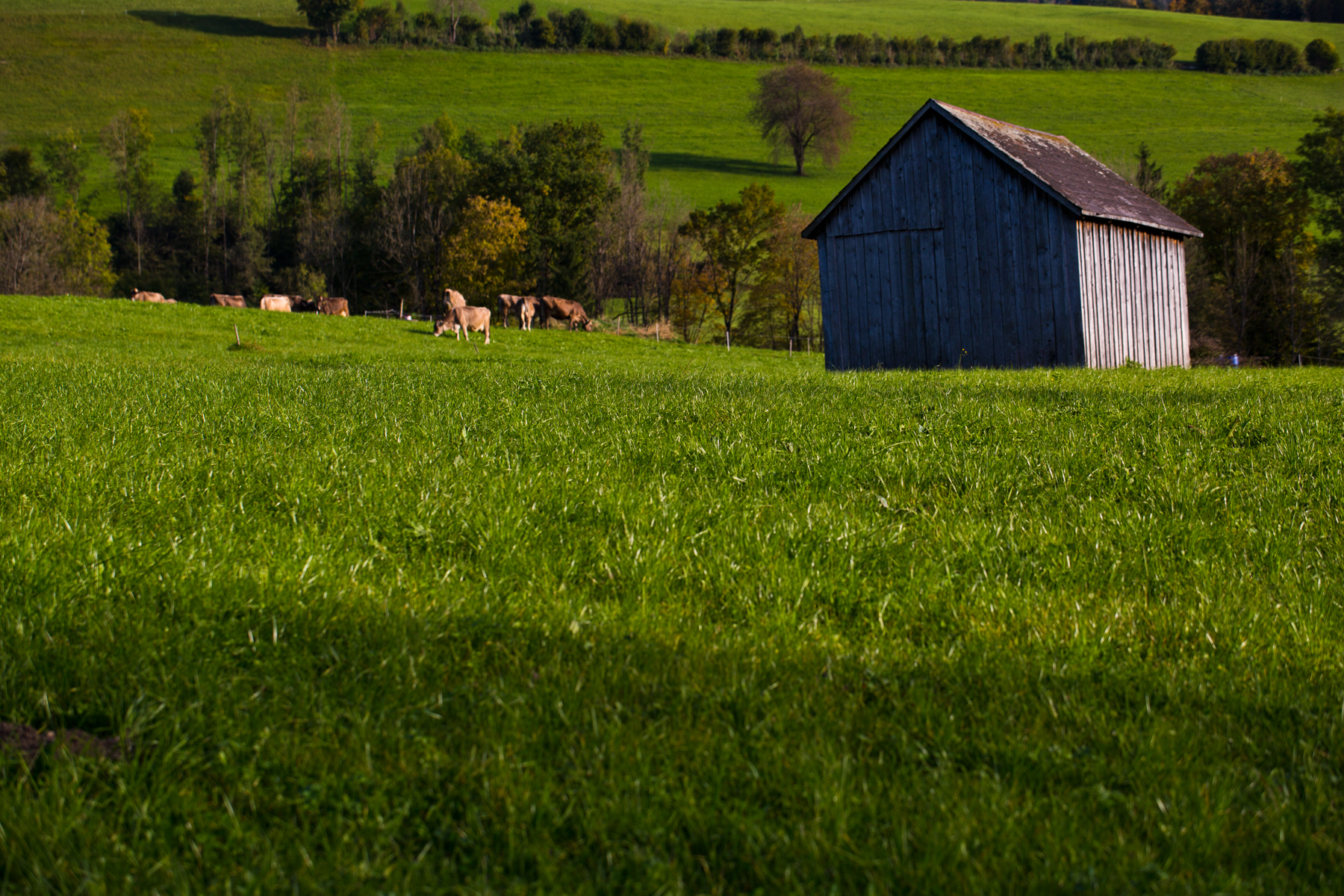 Kühe und Schuppen