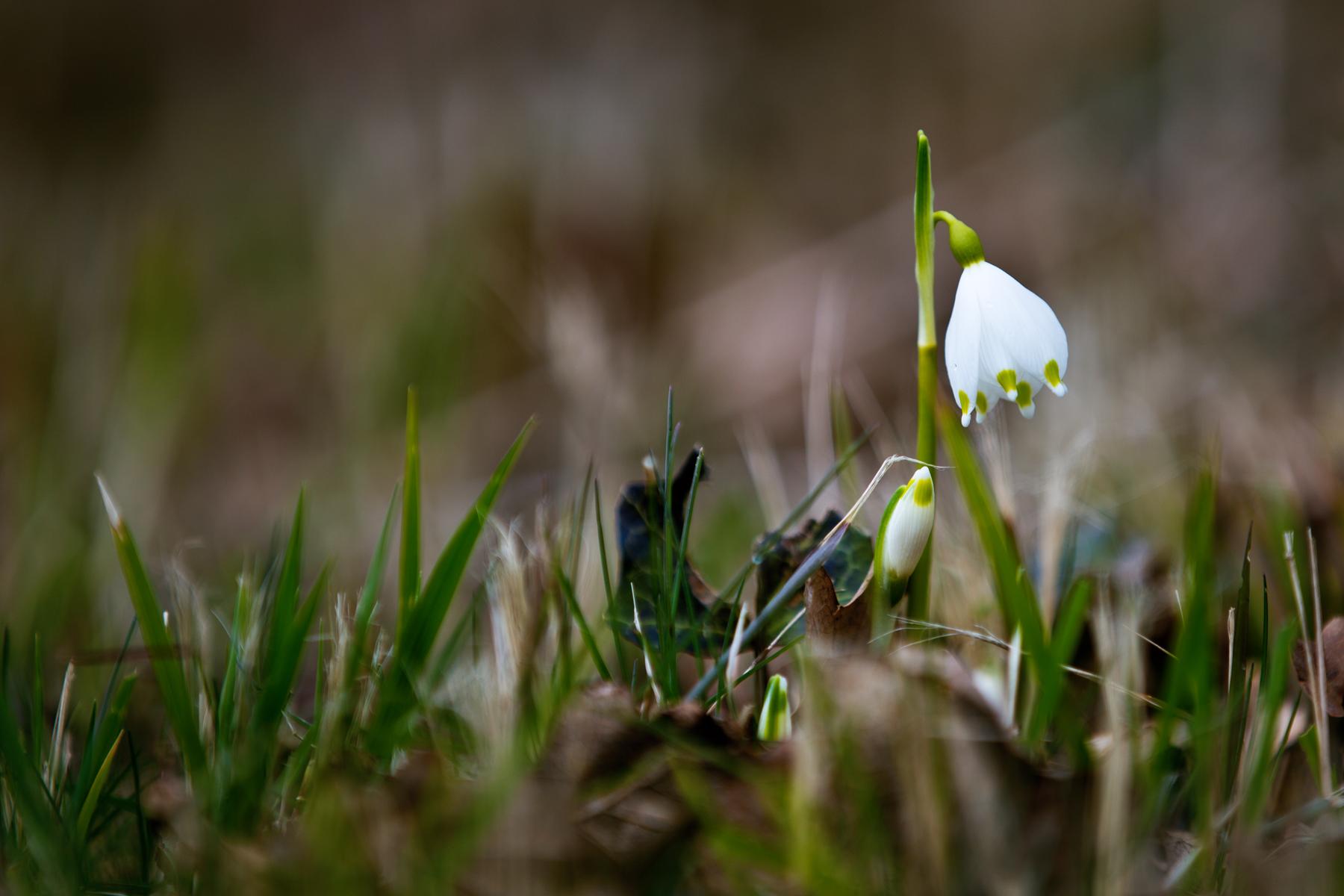 Frühlingsknotenblume-Märzenbecher-Leucojum vernum