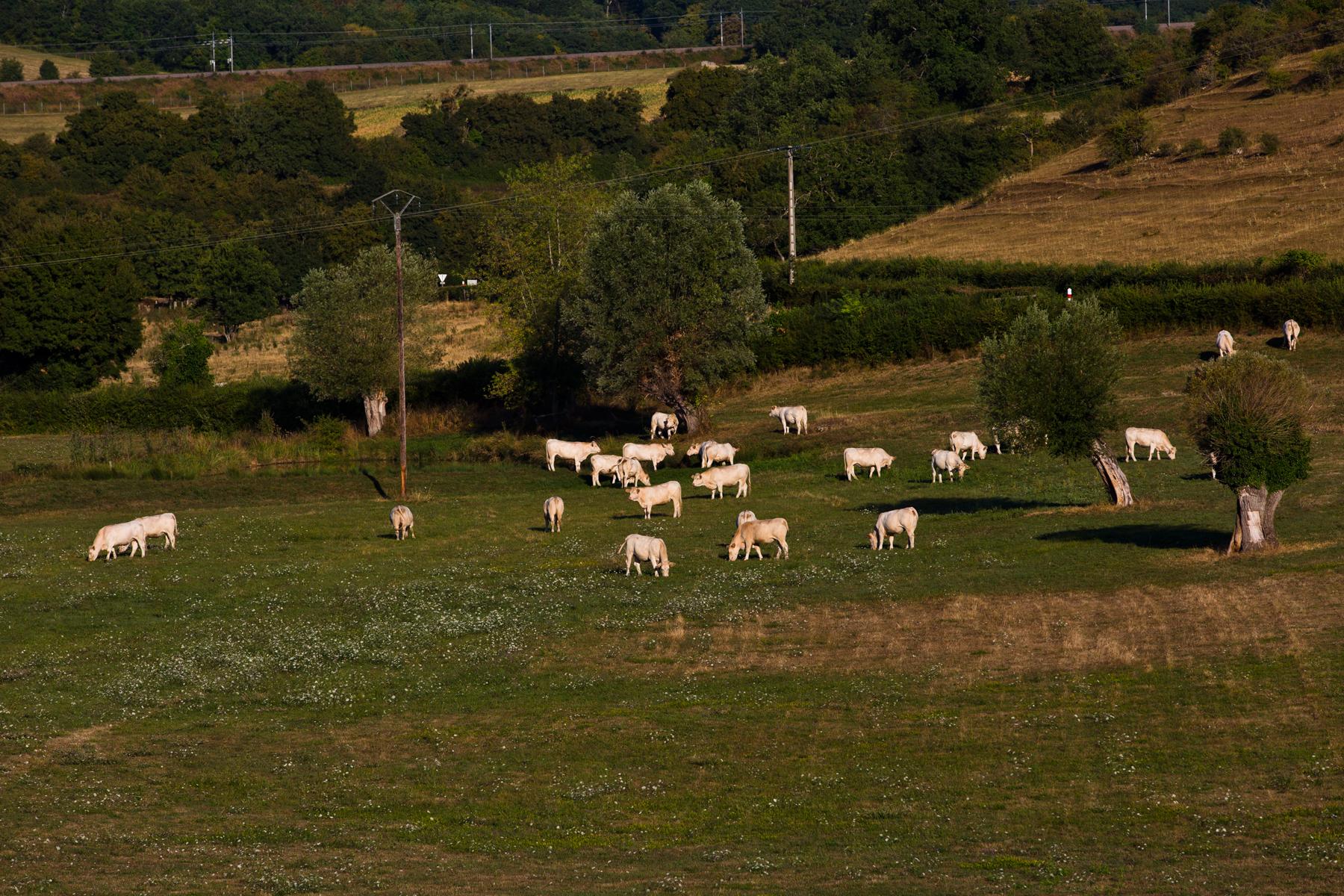 Umgebung von Curtil sous Burnand; typisch Weiden mit  Charolais-Rinder