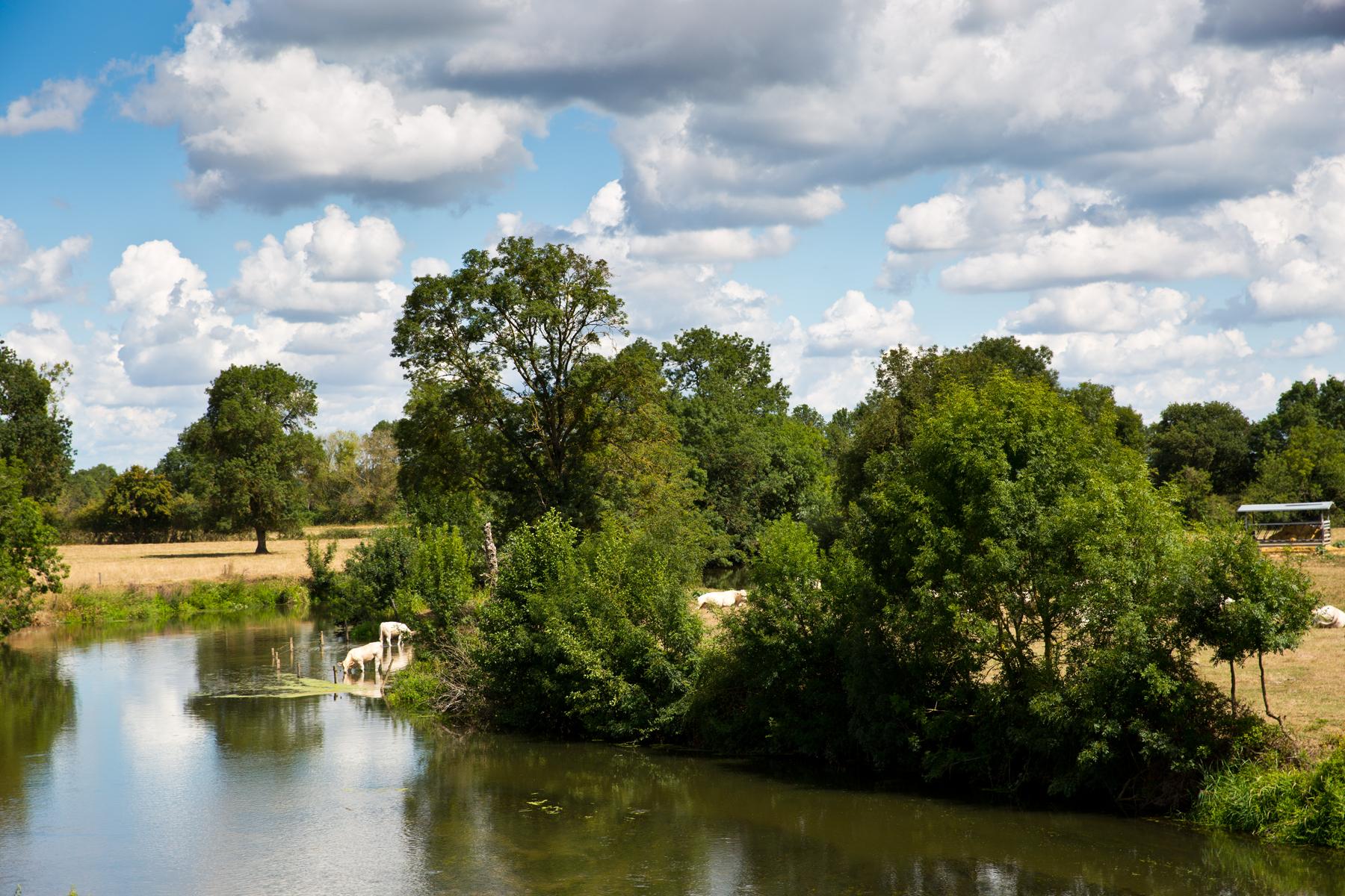 Flusslandschaft Grosne mit Charolais